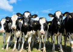 Los gases de las vacas contaminan